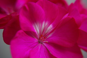Fucsia flower